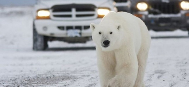 Rusya'da şehre inen kutup ayıları insanları korkutuyor