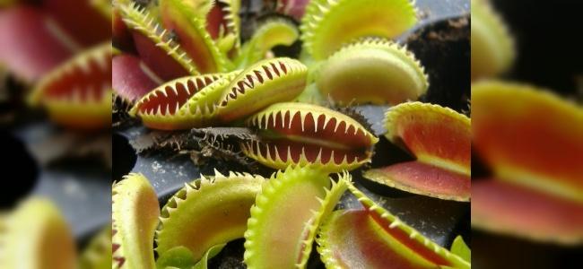 Sinek Öldüren Bitki