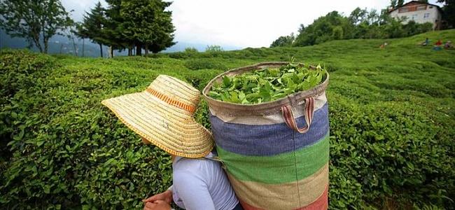 Türkiye 8 Ayda 10,77 Milyon Dolarlık Çay İhraç Etti