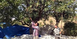 Fıstık İşçileri Randevuyla Çalışmaya Başladı