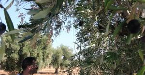 Marmaris#039;te Zeytin Hasadına Başlandı